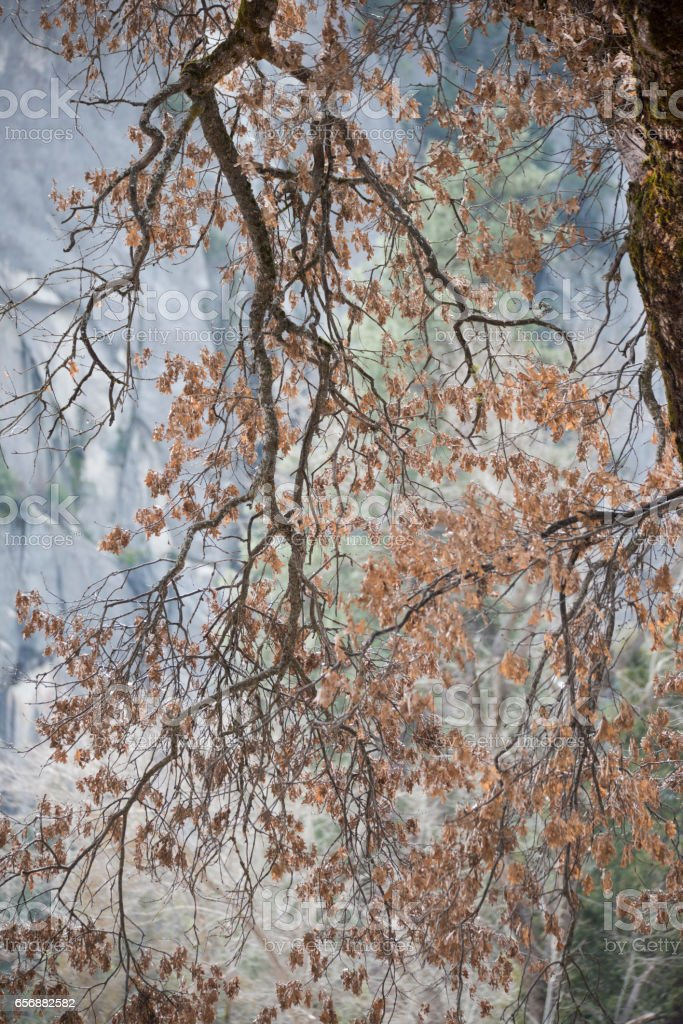 Black Oak tree branches against Yosemite's granite walls stock photo