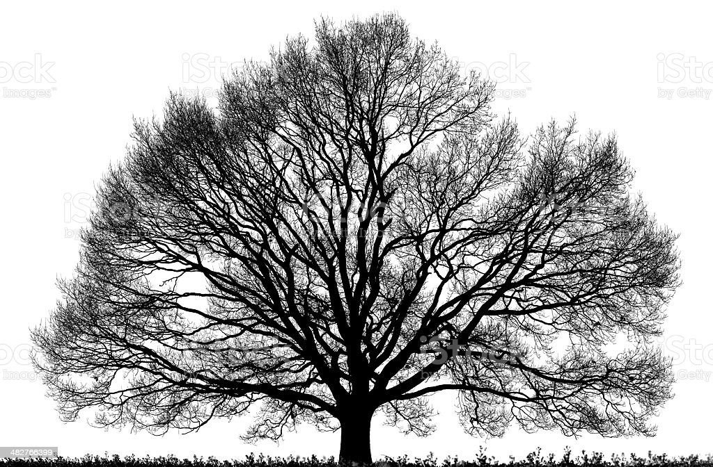 Black Oak Tree (Quercus petraea) isolated on white, high resolution. stock photo