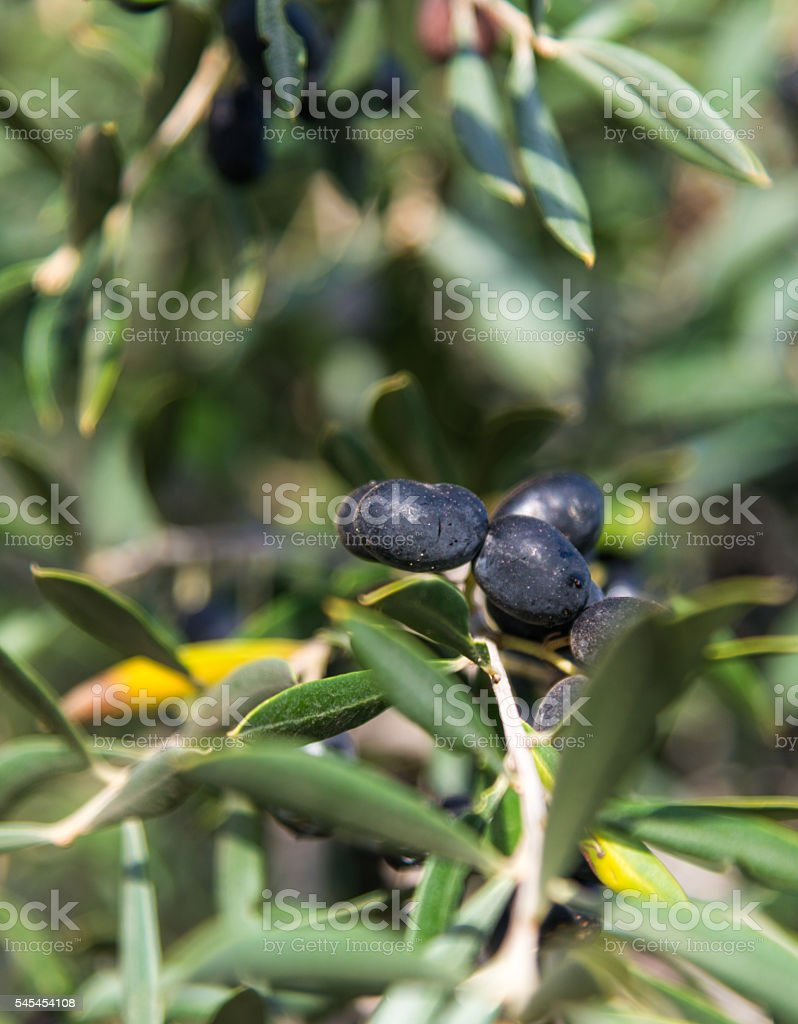 black olive berry on a twig stock photo
