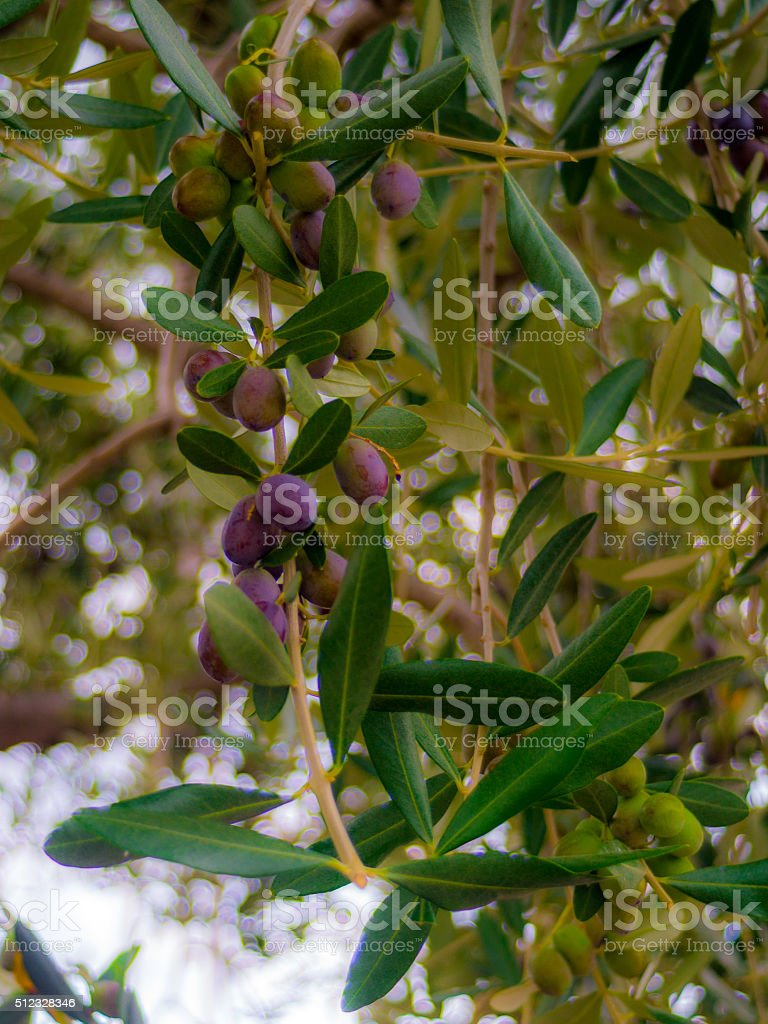 Black Olives on tree branch stock photo
