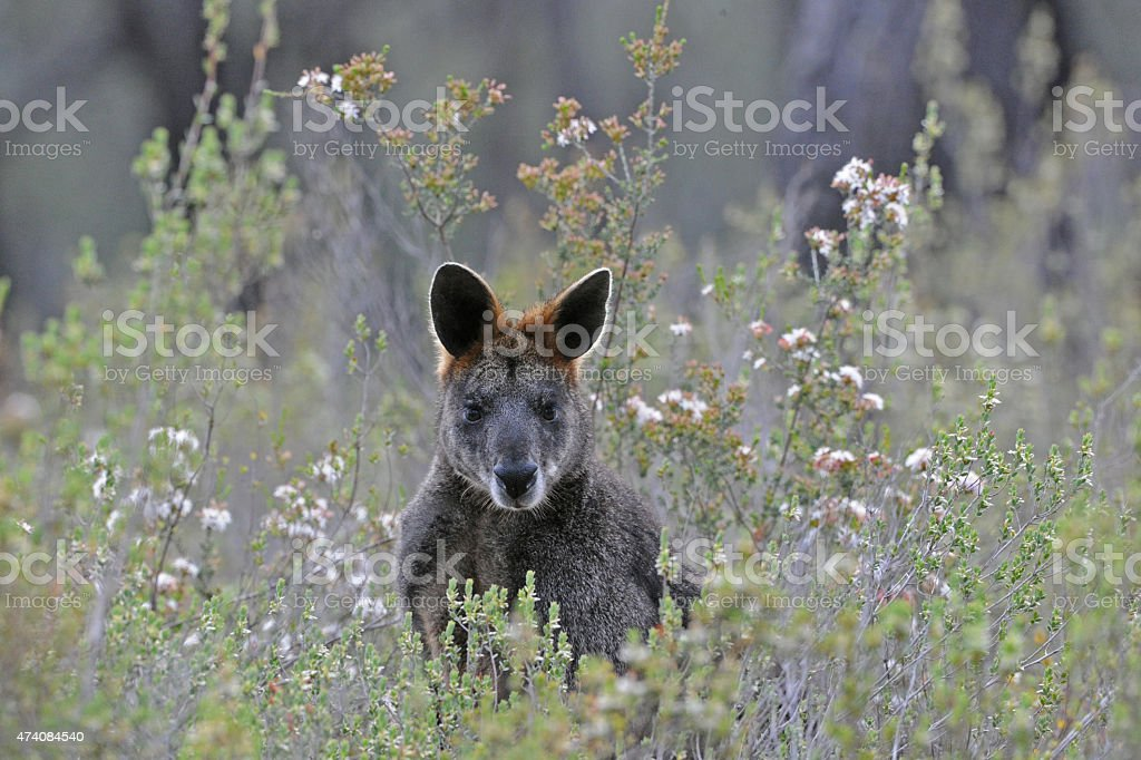 Black or Swamp Wallaby and wildflowers stock photo