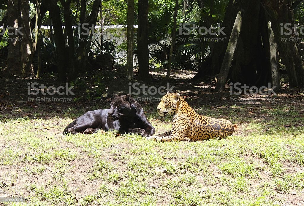 Black Panther and Jaguar at Xcaret Park, Mexico's sacred paradise royalty-free stock photo