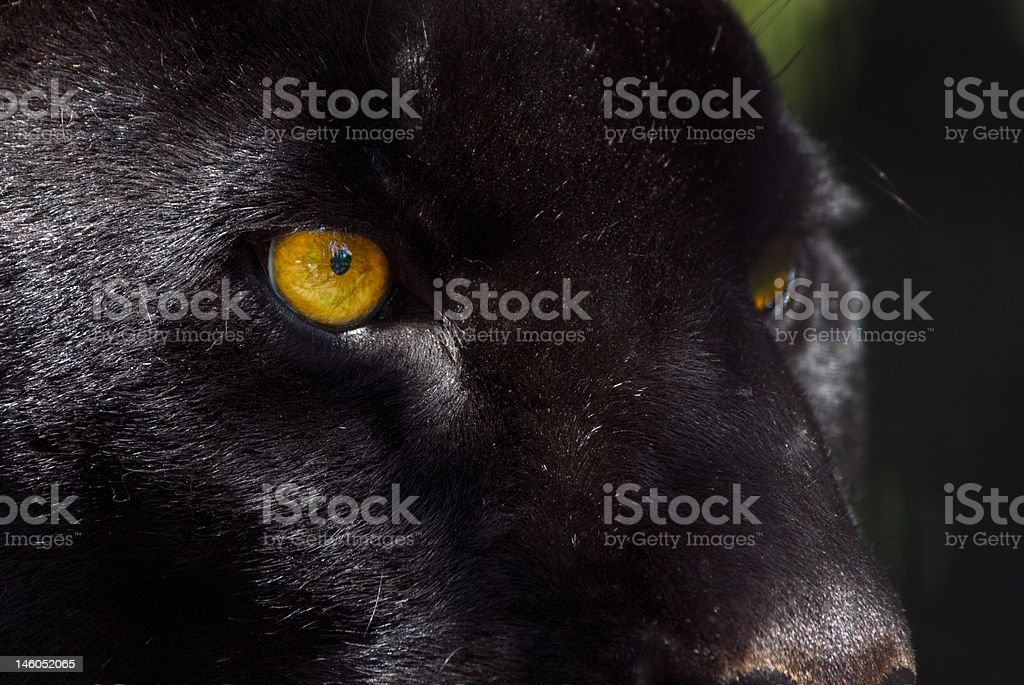 black panther royalty-free stock photo