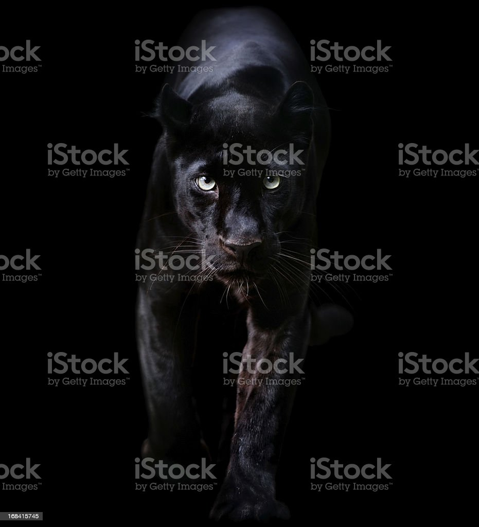black panther stock photo