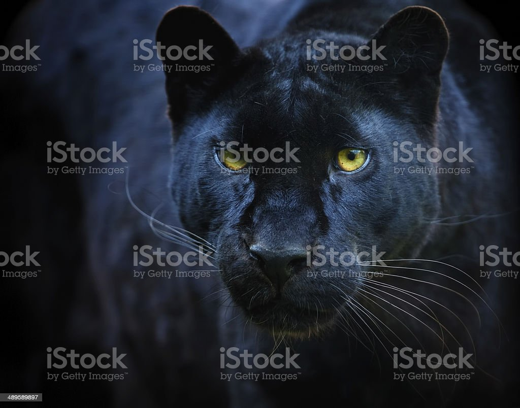 black panther stock photo