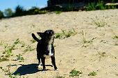 Black Pekinese barks with his head held high