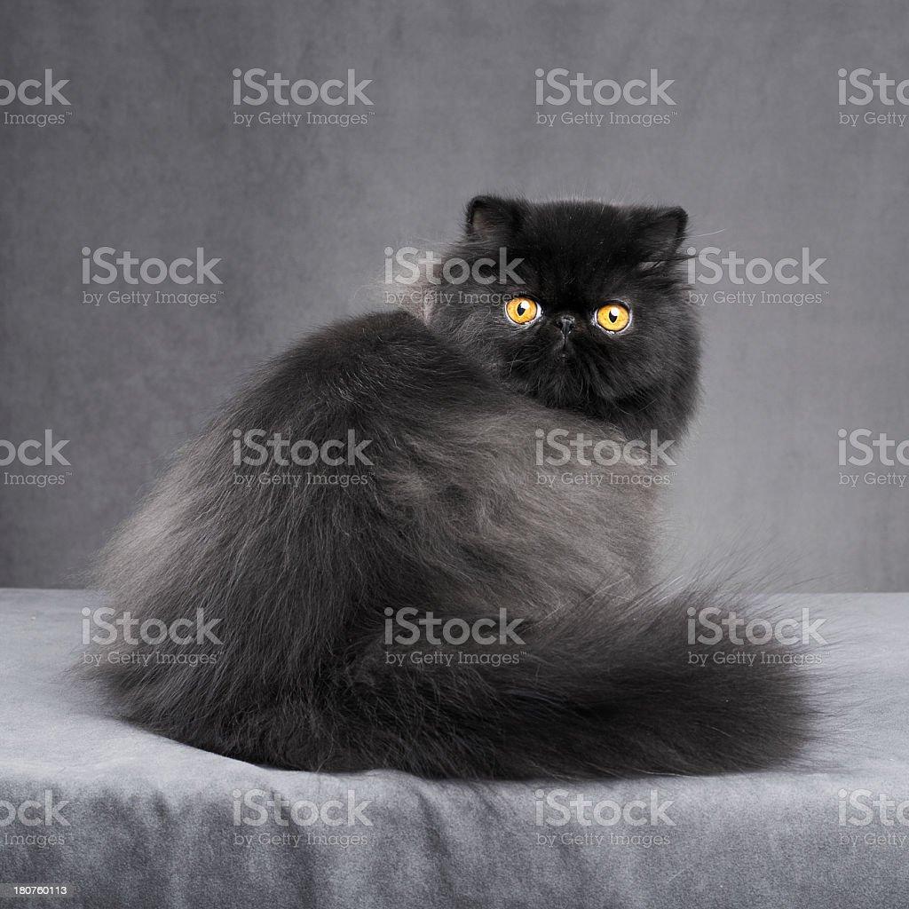 Black persian cat royalty-free stock photo