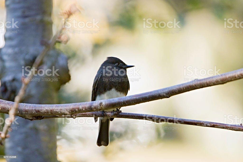 Black Phoebe on Branch stock photo