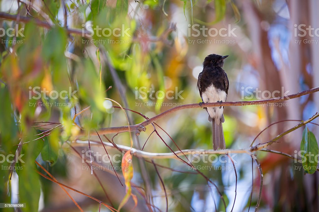 Black Phoebe (Sayornis nigricans) perched on a tree branch stock photo