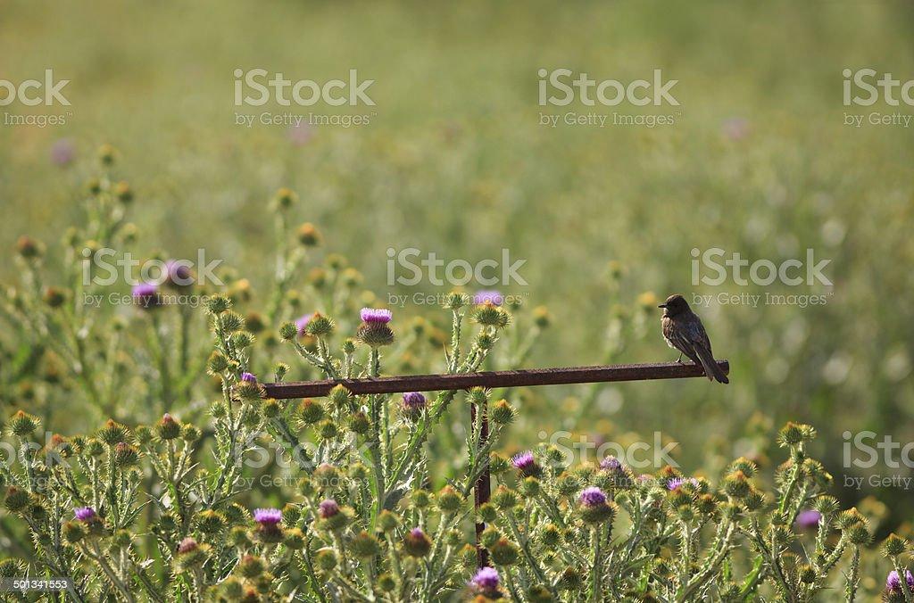 Black Phoebe w/ Thistle Flowers royalty-free stock photo