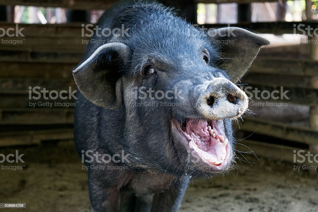 Black pig opened mouth yawn in sty stock photo