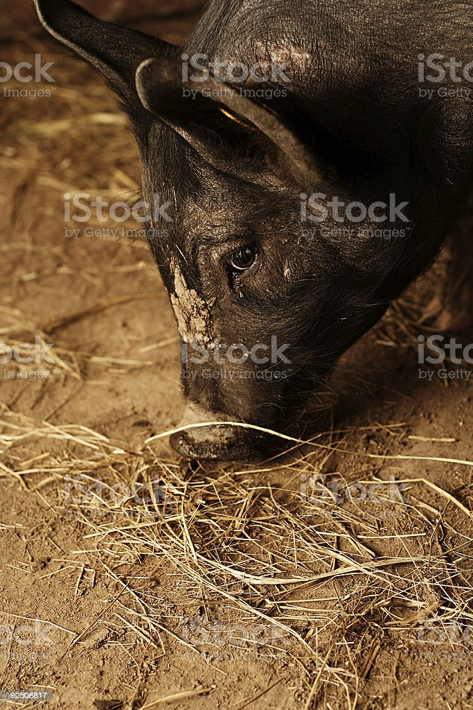 Black Pig Sniffing the Ground royalty-free stock photo