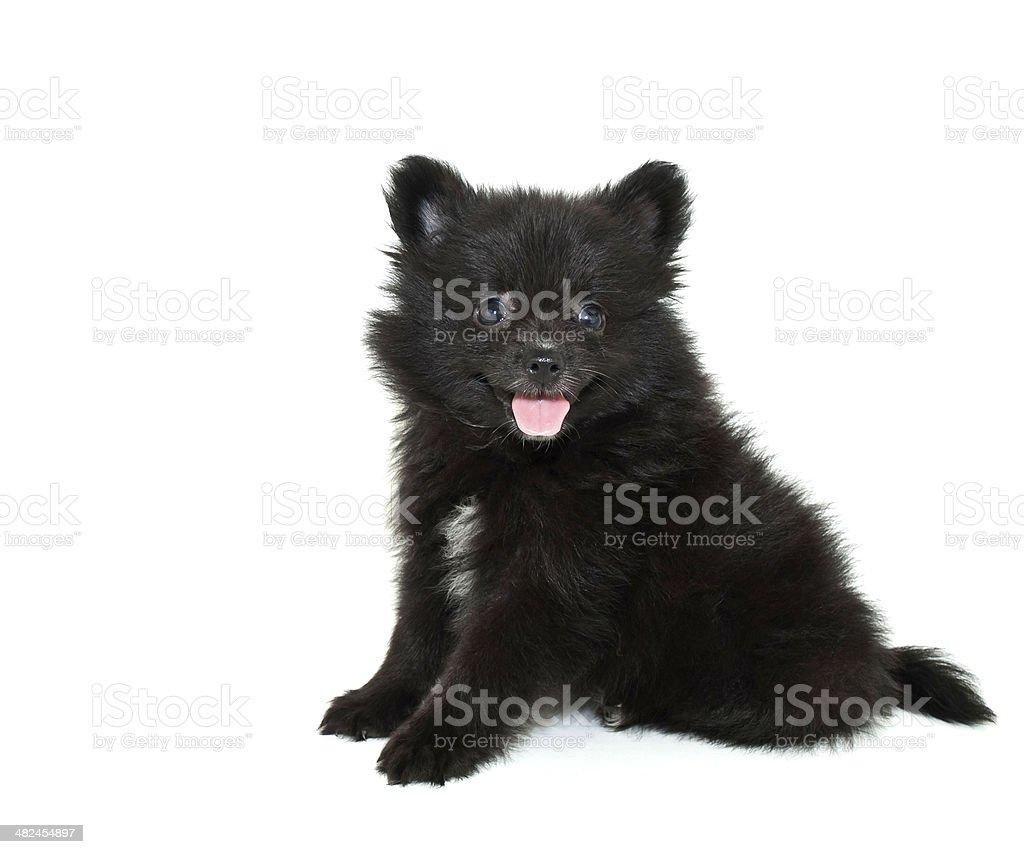 Black Pomeranian Puppy stock photo