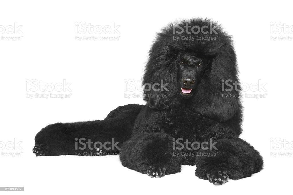 Black poodle lying on a white background stock photo