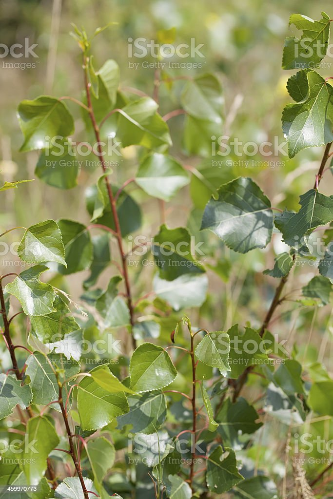 Black poplar (Populus nigra) Leaves stock photo