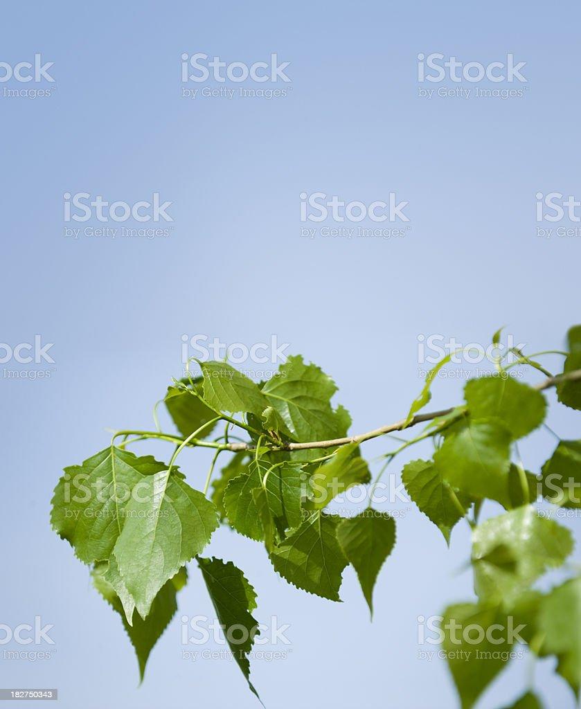 black poplar  Populus nigra  (image size XXL) stock photo