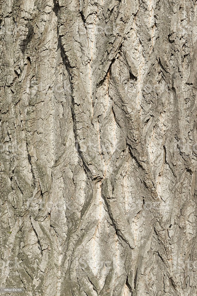 black poplar [Populus nigra] stock photo