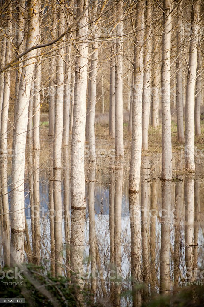 Black poplars tree trunks reflected, flooded area. stock photo