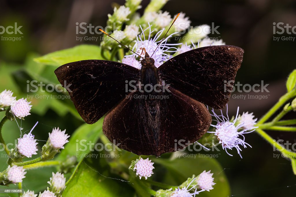 Black Prince butterfly stock photo