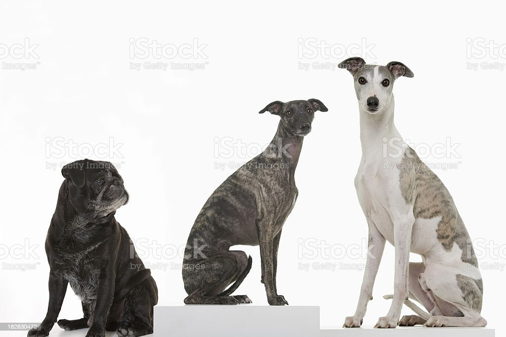 Black pug and two whippets on a podium stock photo