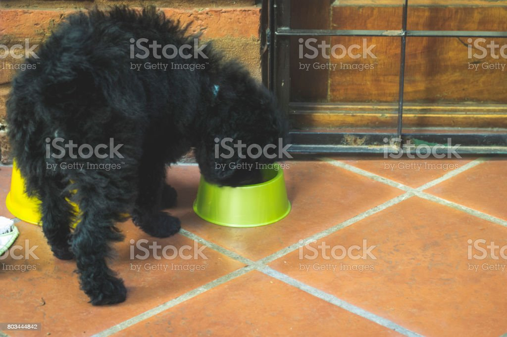 A black Puppy eating his food stock photo