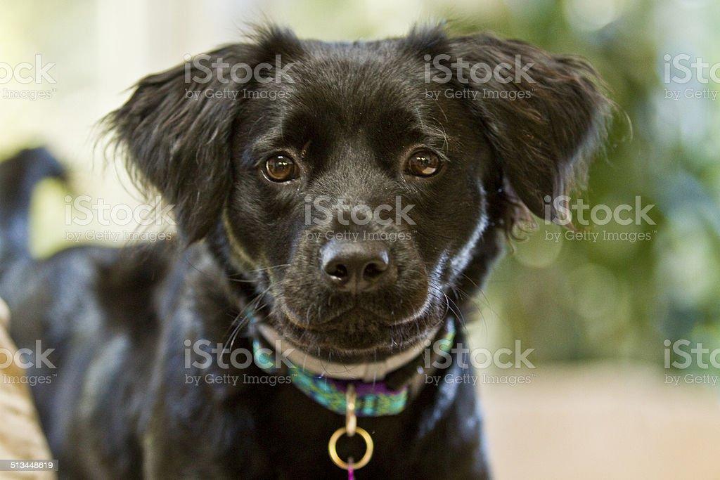 Black Puppy face stock photo