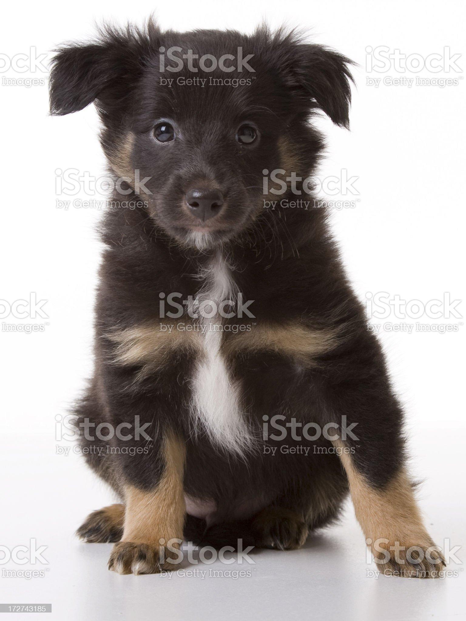 Black puppy looking at camera royalty-free stock photo