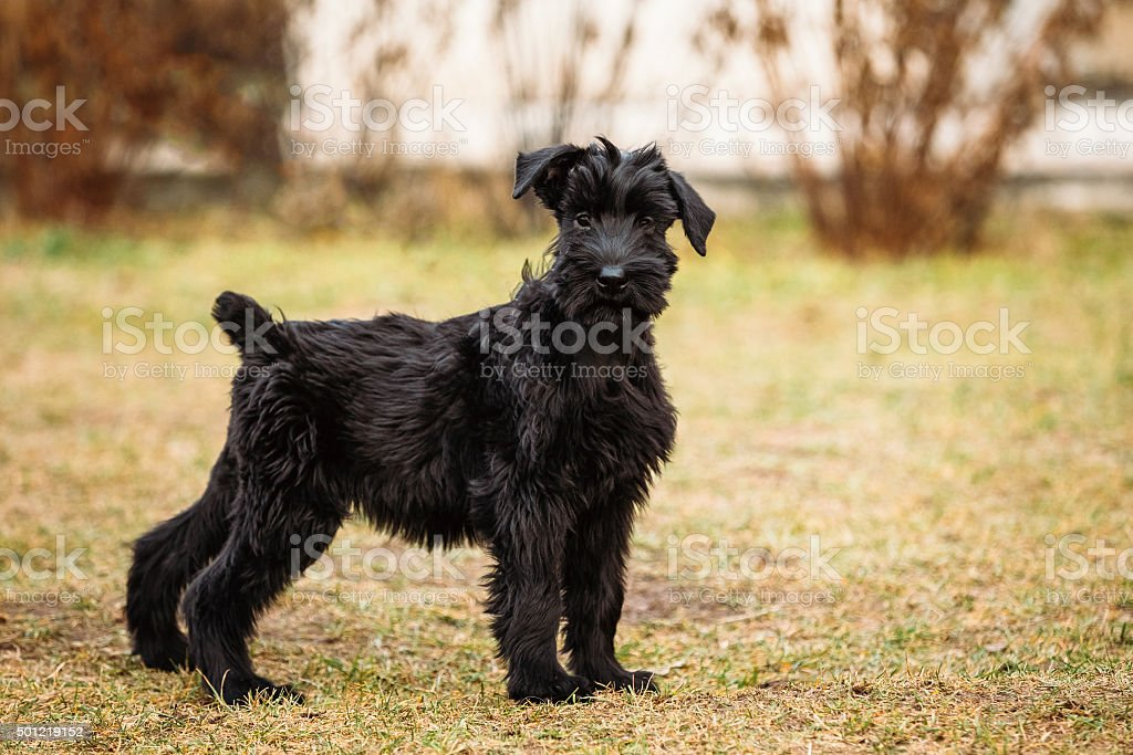 Black puppy of Giant Schnauzer dog stock photo