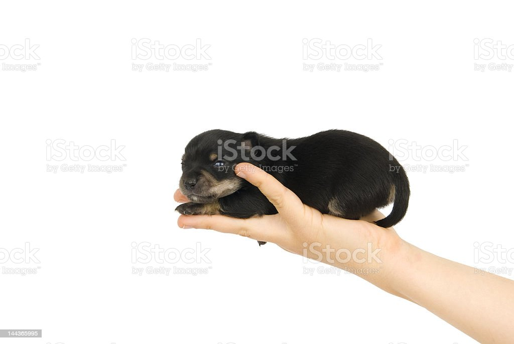 Black puppy on the hand. royalty-free stock photo