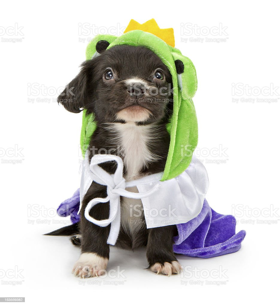 Black Puppy Wearing Frog Prince Outfit royalty-free stock photo