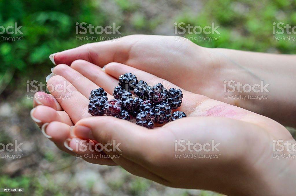 Black raspberries in young woman's hands stock photo