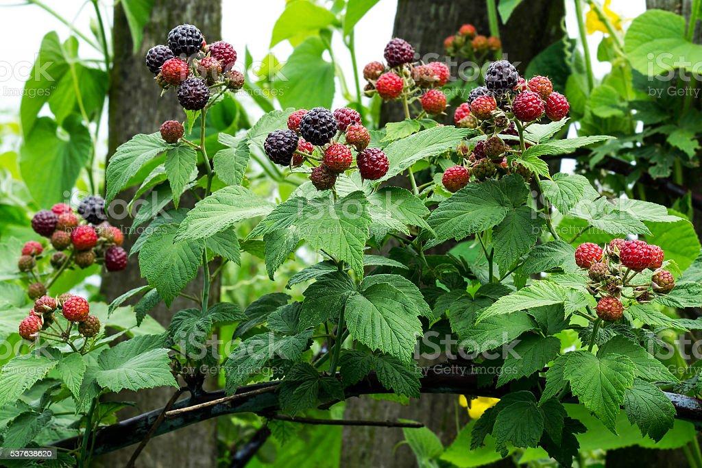 Black raspberries (Rubus occidentalis) ripening on the branch in stock photo
