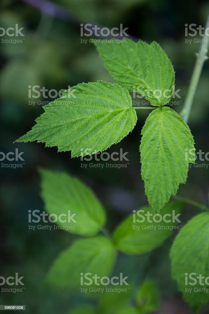 Black Raspberry Plant Without Berries stock photo