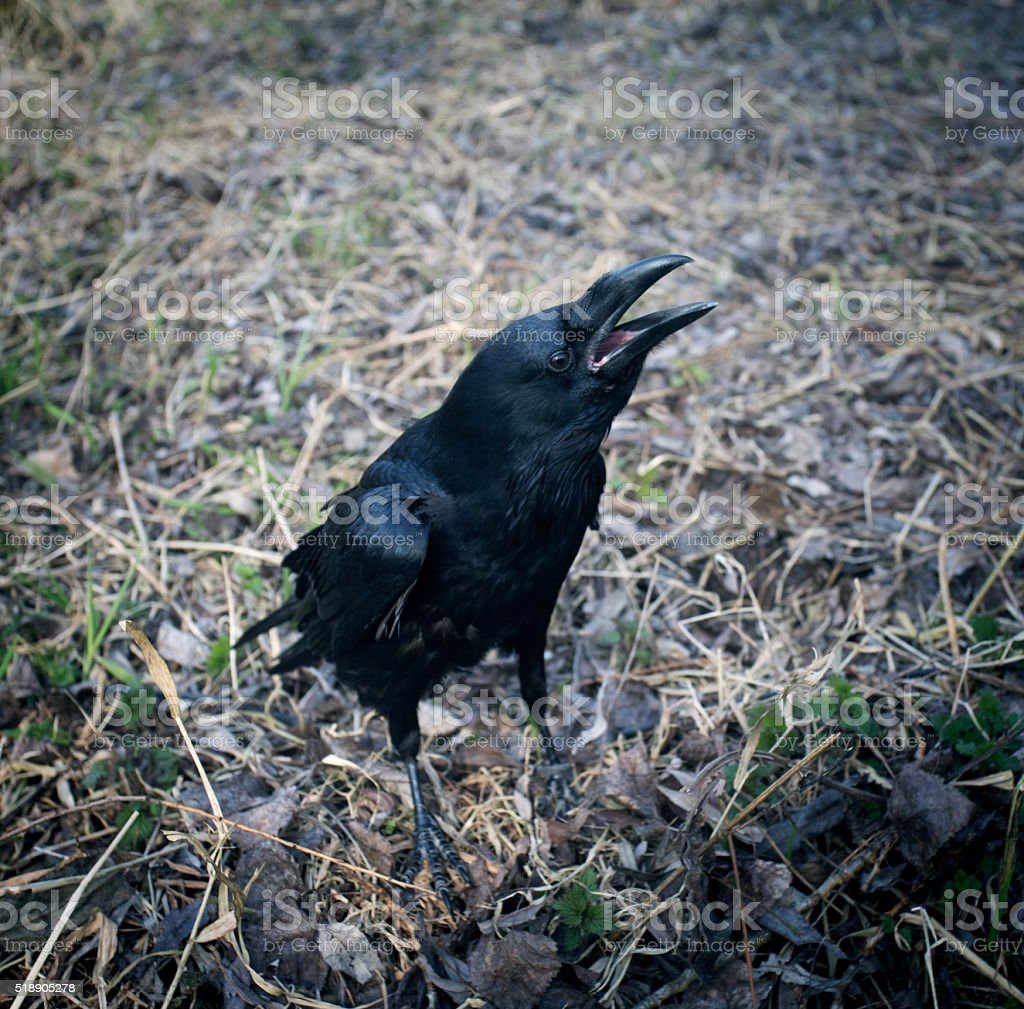 Black raven with open beak. Dark crow. Symbol of death. stock photo