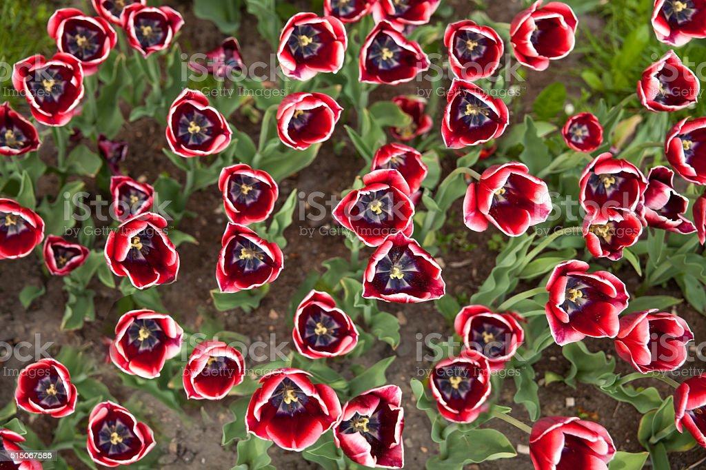 Black, red, white tulips background stock photo