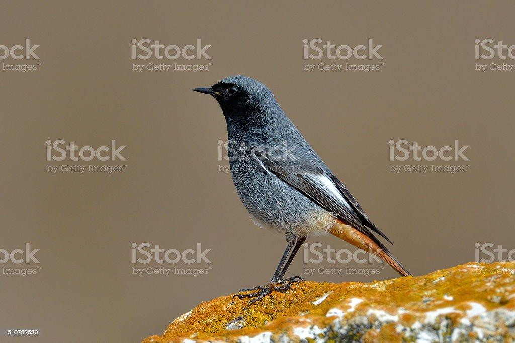 black redstart in natural habitat (phoenicurus ochruros) stock photo