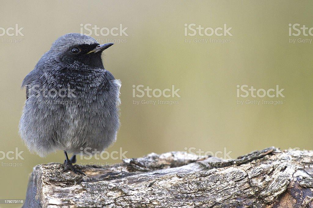 Black redstart male stock photo