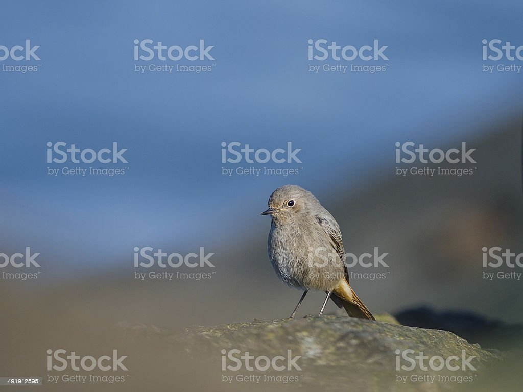Black redstart on a pier in Holland stock photo