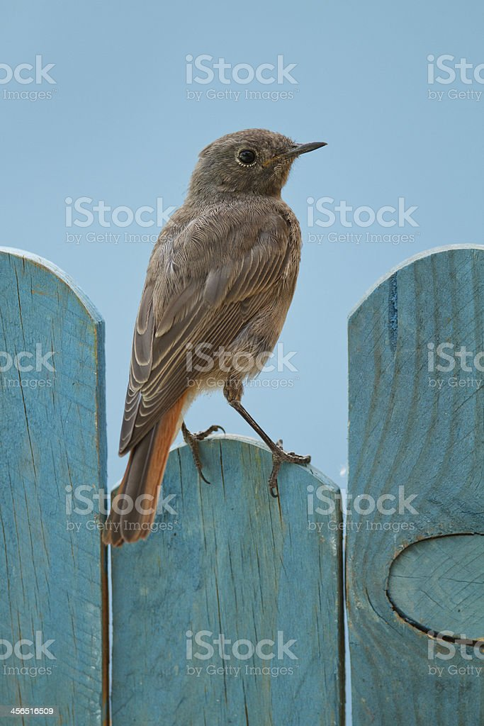 Black Redstart perched on a blue fence stock photo