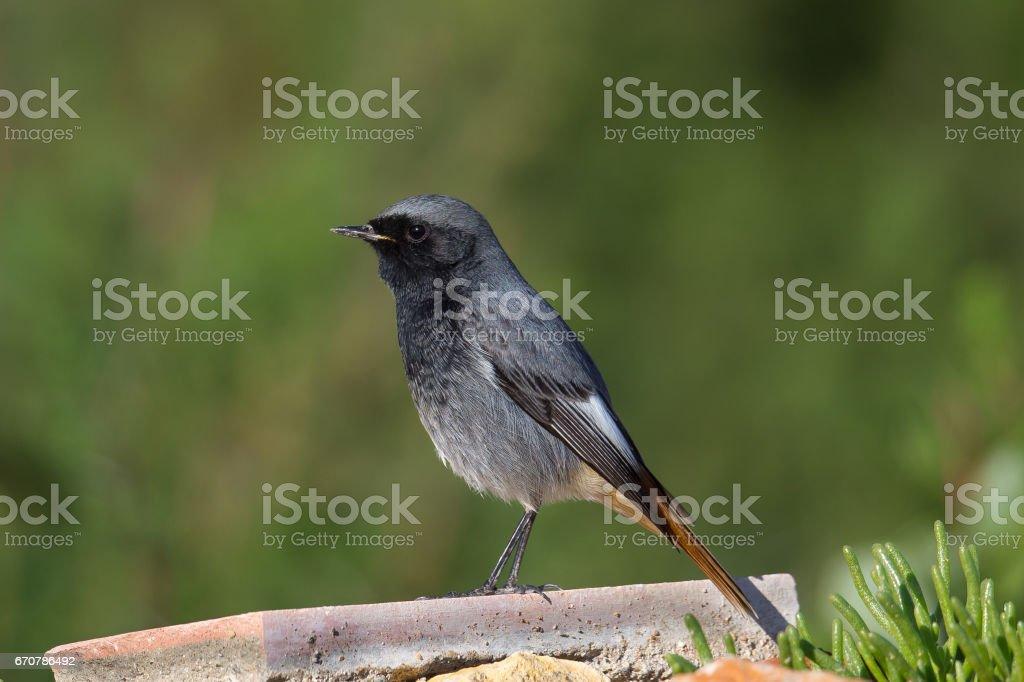 Black Redstart perched on a concrete block stock photo