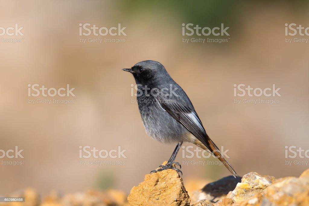Black Redstart perched on a rock stock photo