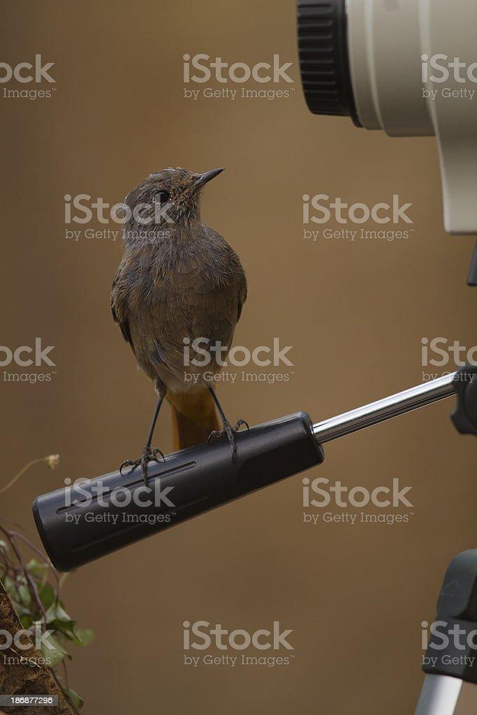 Black Redstart perched on a tripod stock photo