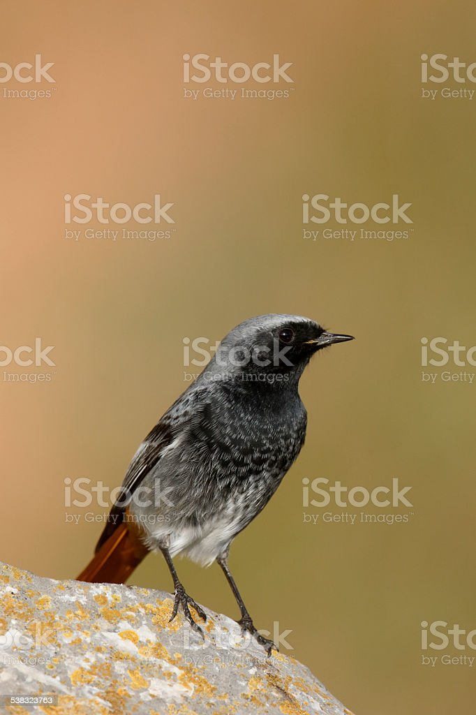 Black redstart, Phoenicurus ochruros stock photo