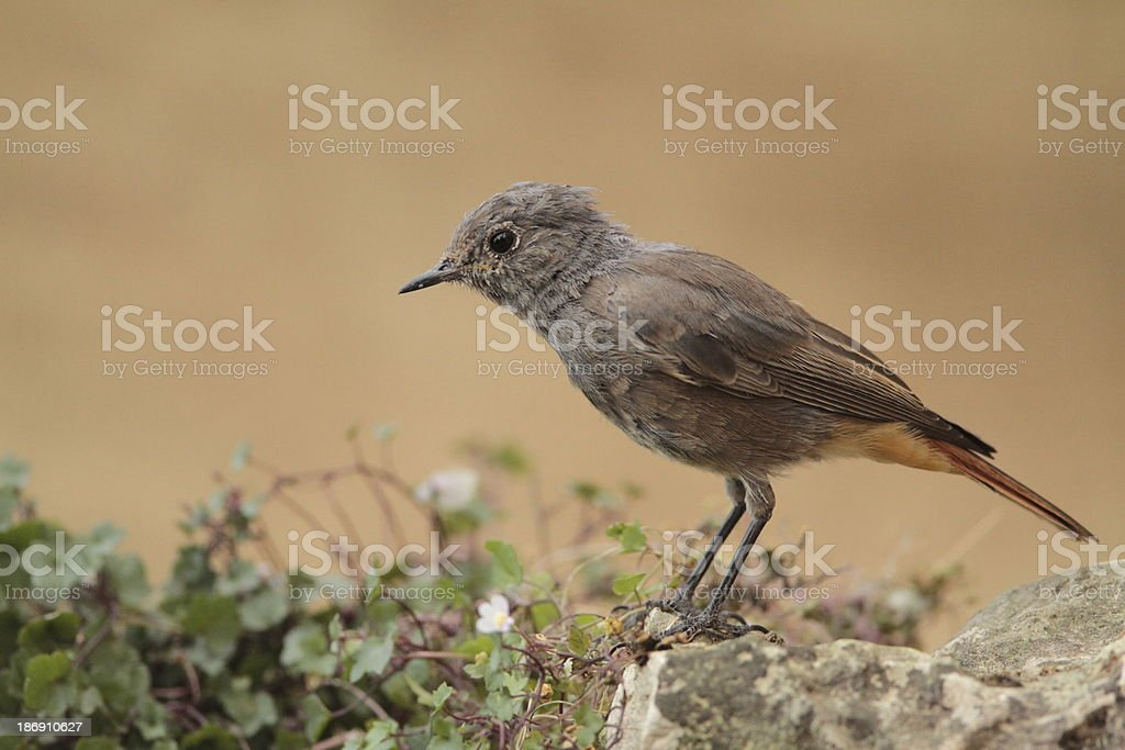 Black Redstart stock photo