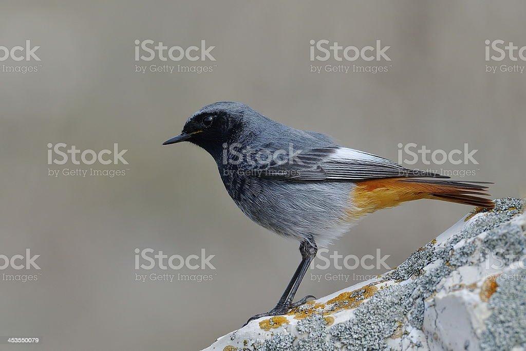 black redstart (phoenicurus ochruros) stock photo