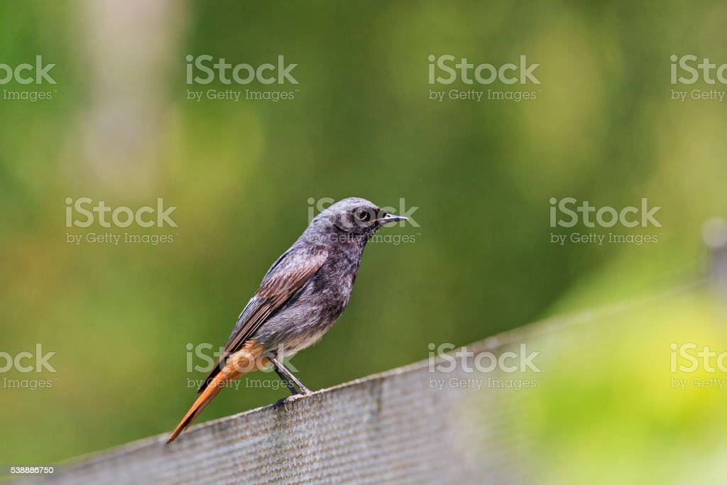 Black redstart sitting on a garden fence stock photo