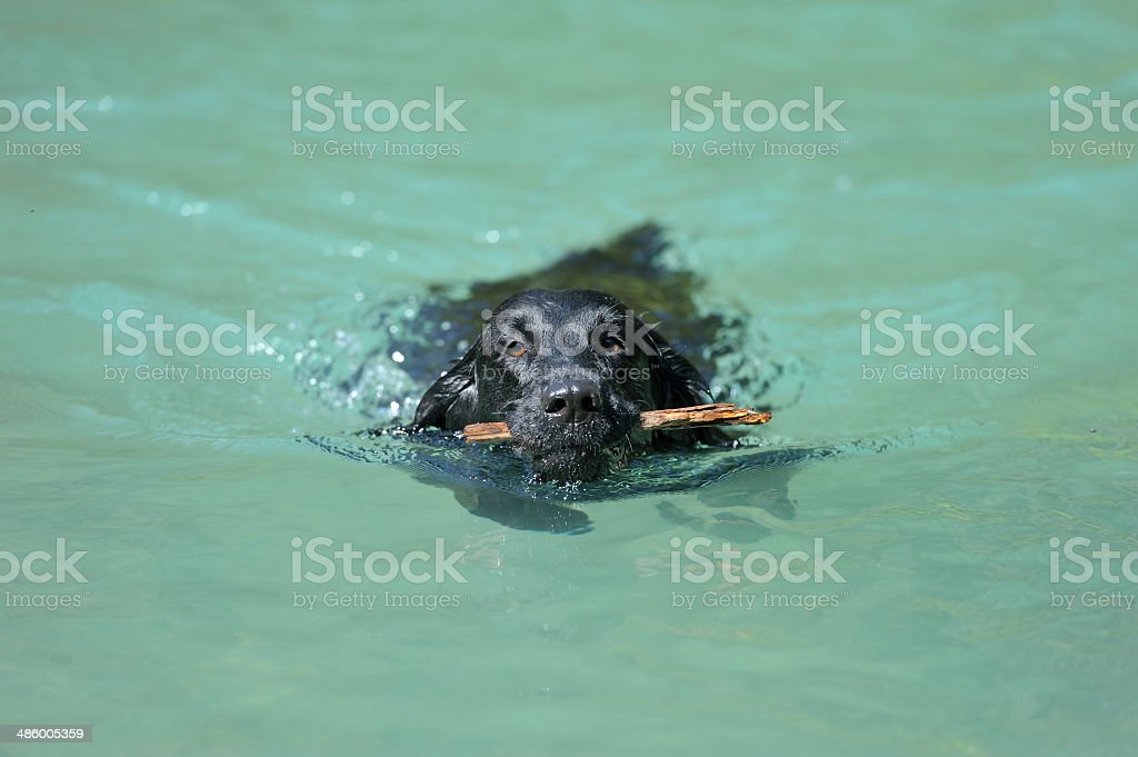 Black retriever holding a stick in aquamarine water royalty-free stock photo