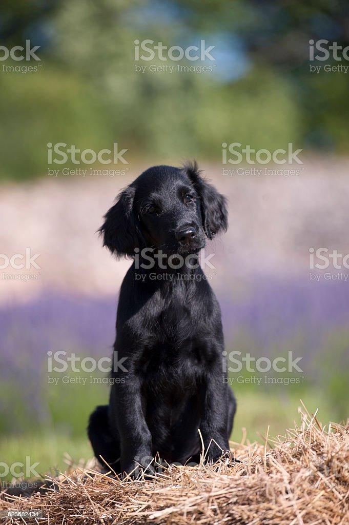 Black retriever puppy on the farm stock photo