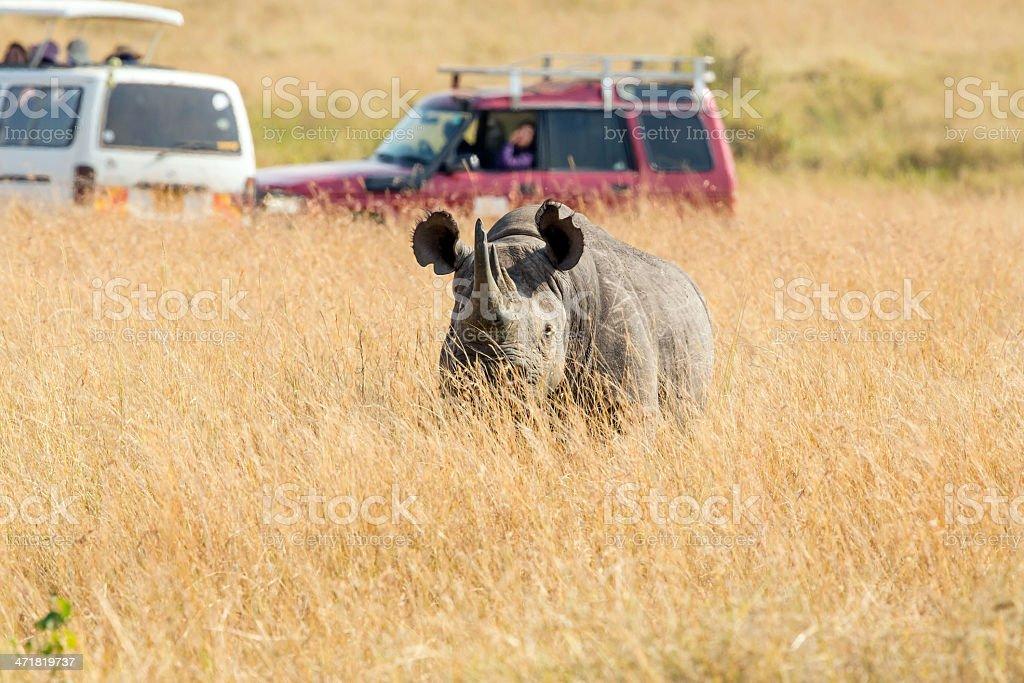 Black Rhino and Safari Cars at Masai Mara royalty-free stock photo