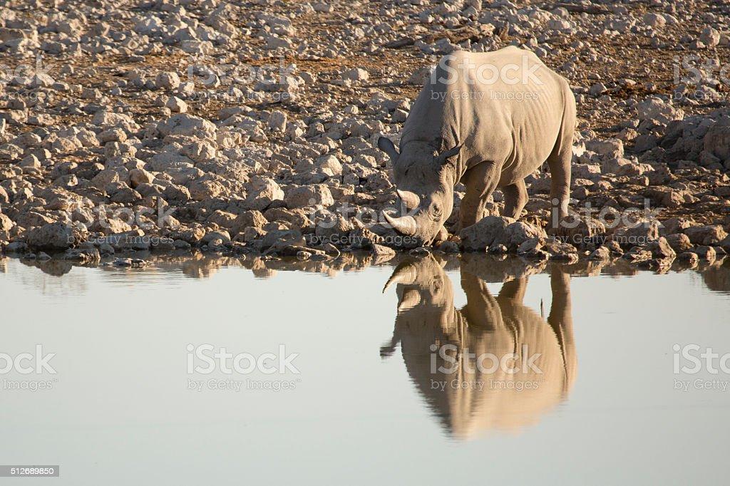 Black Rhino at Okaukuejo water hole stock photo
